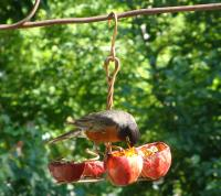 Songbird Essentials Apple Anchor Oriole Bird Feeder