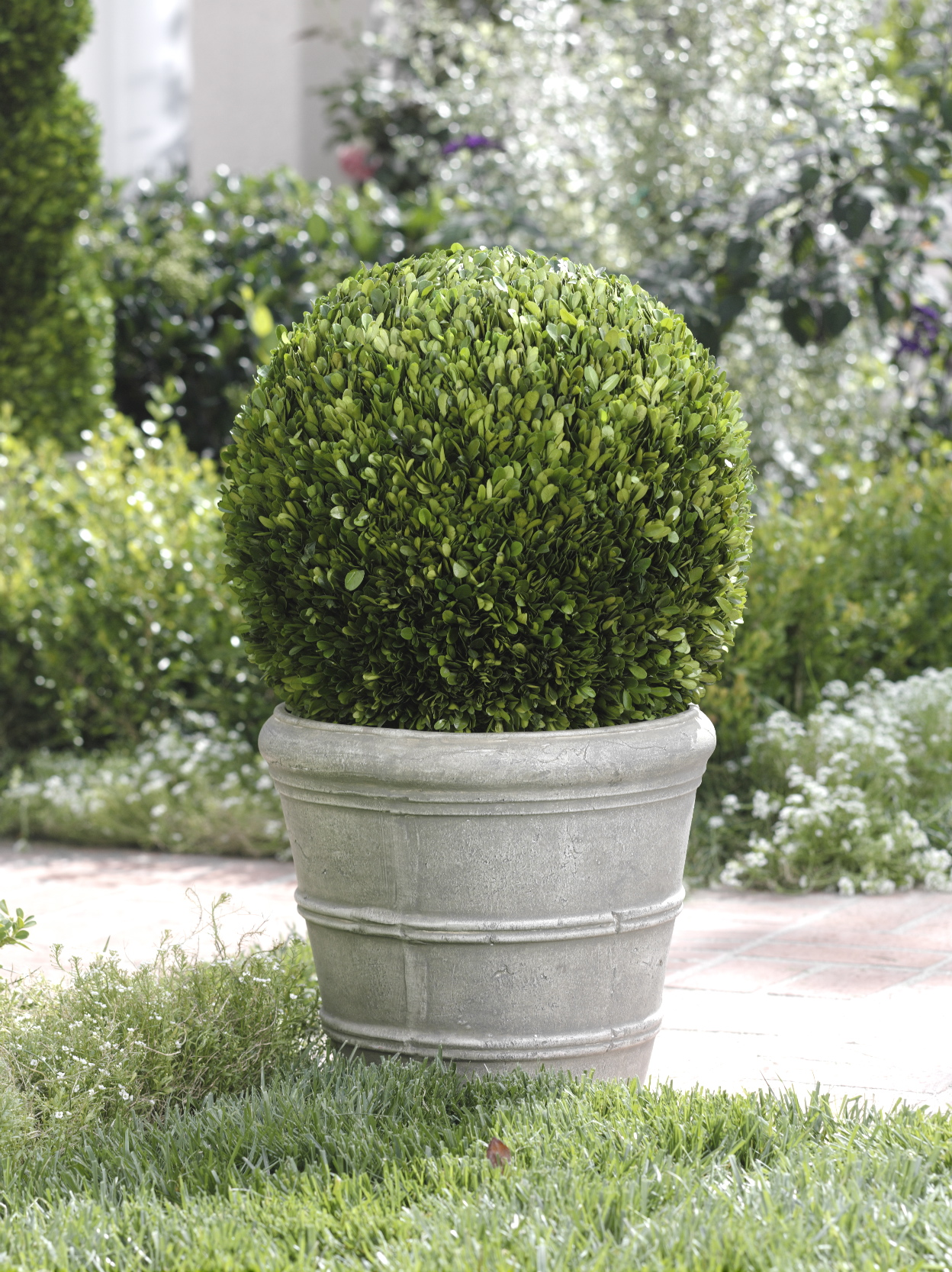 Single Potted Ball Boxwood Topiary