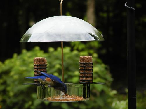 larger feeding shop wood news mealworms birds bluebirds accessing the feeder help caged bluebird feeders discourage type from thrush