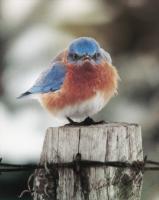 Songbird Essentials Magnet, Mad Bluebird