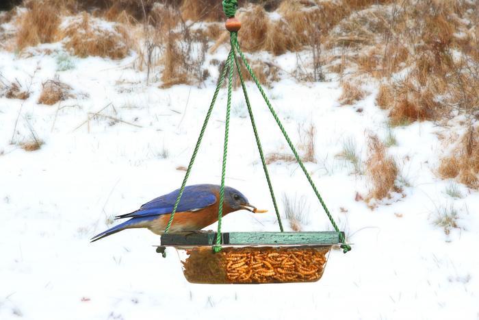 Songbird Essentials Hanging Mealworm Dish Bird Feeder