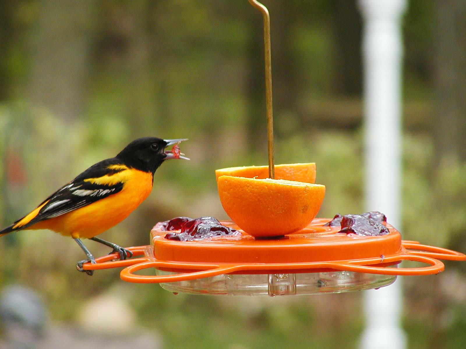 plants area sturdy pin for grape a four features sides wide open deluxe best all feeder and your jelly oriole provides perches feeding this on birds
