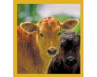 Magnetic Bookmark Two Calves (Brown & Black)