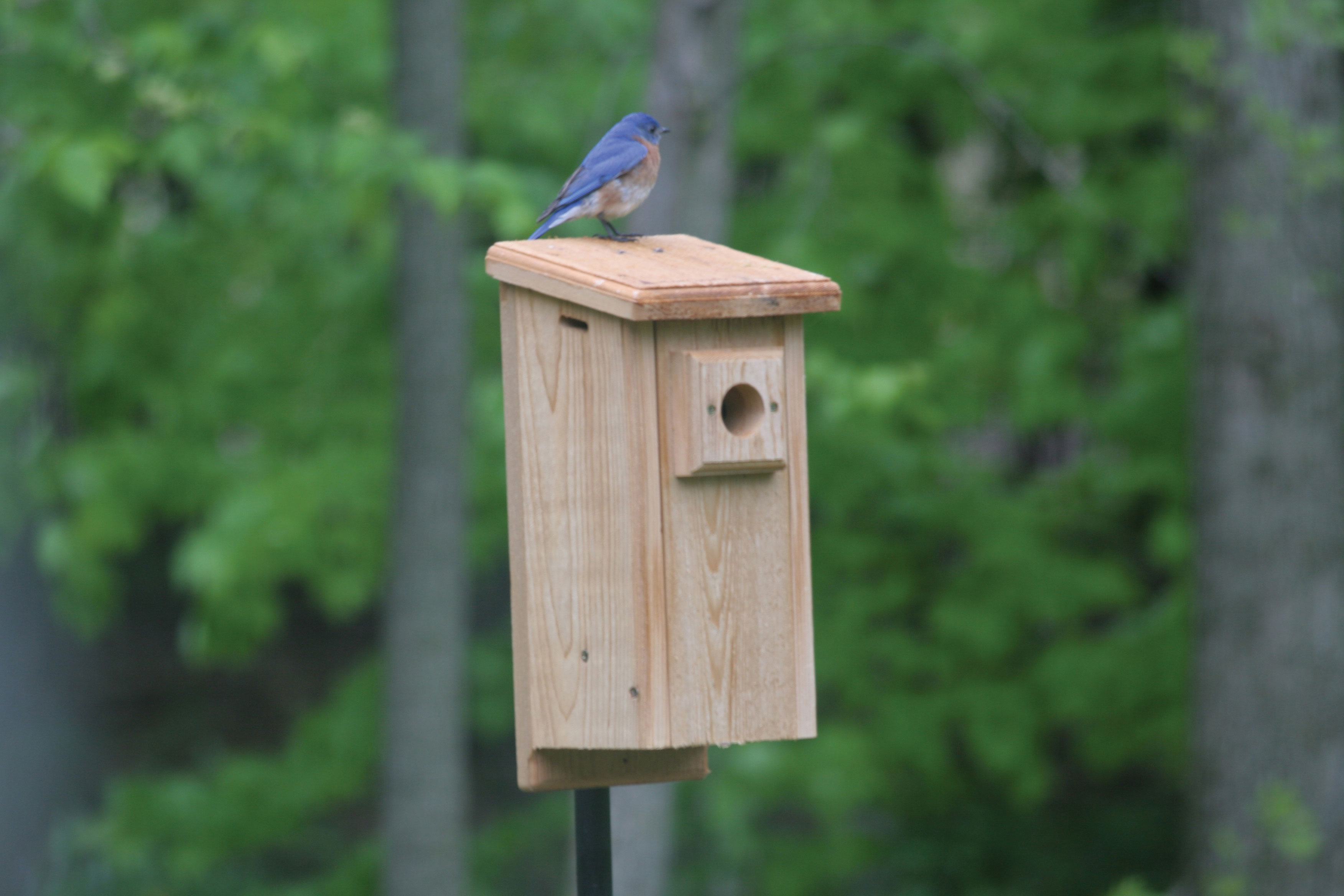 bluebird bird beloved conservation feeder product and book the feeders blue charismatic